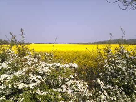 Hawthorn Hedge and Oilseed Rape