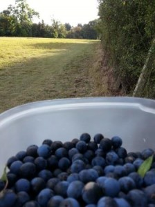 Picking Sloes October 2014